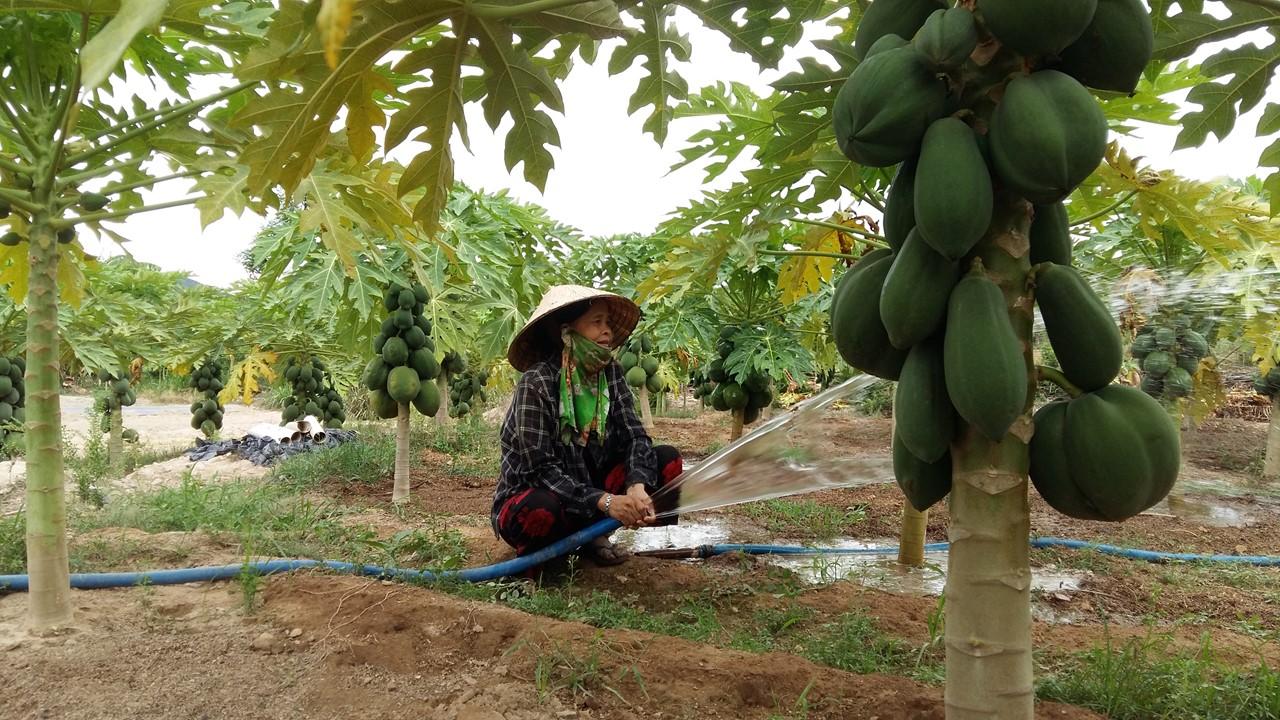 Phú Yên: Trồng đu đủ giống lạ, cây thấp tè đeo trái quá trời, hái bán 60 tấn, lãi 250 triệu đồng - Ảnh 1.