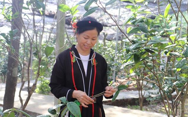 Vĩnh Phúc: Trồng thứ cây tên nghe bình dân nhưng hái hoa bán đắt như vàng, lãi 600-700 triệu mỗi năm