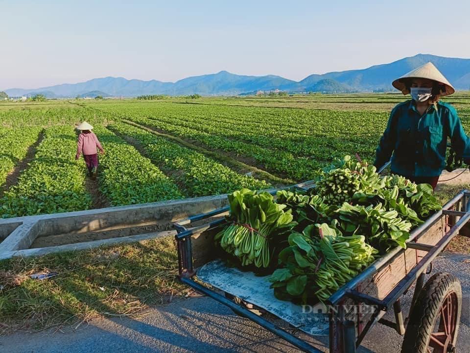 """Nghệ An: Hàng nghìn tấn rau đang """"nằm ruộng"""" chờ đầu ra... - Ảnh 1."""