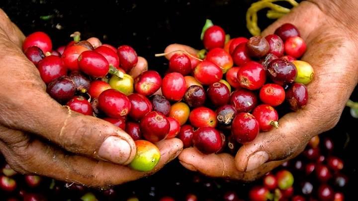 Giá nông sản hôm nay 1/9: Thị trường tiêu trầm lắng, đại lý ngừng gom hàng; cà phê có xu hướng đi lên - Ảnh 1.
