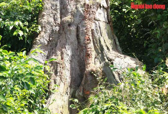Ngắm cụ lim xanh ngàn năm tuổi duy nhất ở xứ Thanh - Ảnh 4.