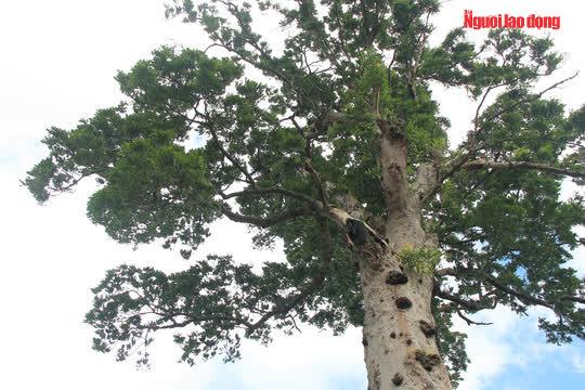 Ngắm cụ lim xanh ngàn năm tuổi duy nhất ở xứ Thanh - Ảnh 12.