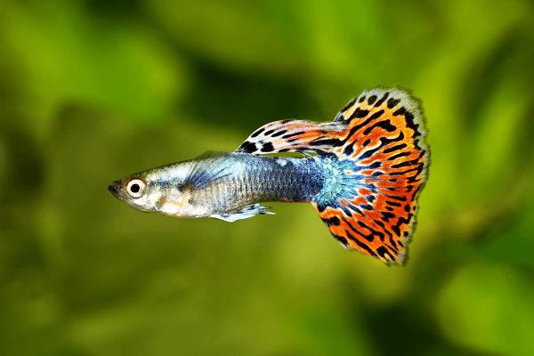10 loại cá cảnh cực dễ nuôi, vừa đẹp lại còn thu hút tài lộc cho gia chủ - Ảnh 3.