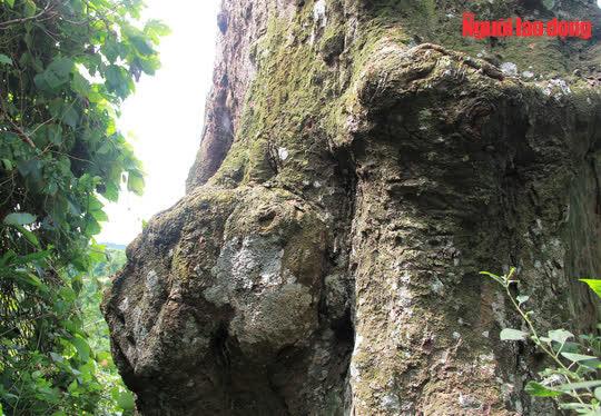 Ngắm cụ lim xanh ngàn năm tuổi duy nhất ở xứ Thanh - Ảnh 8.