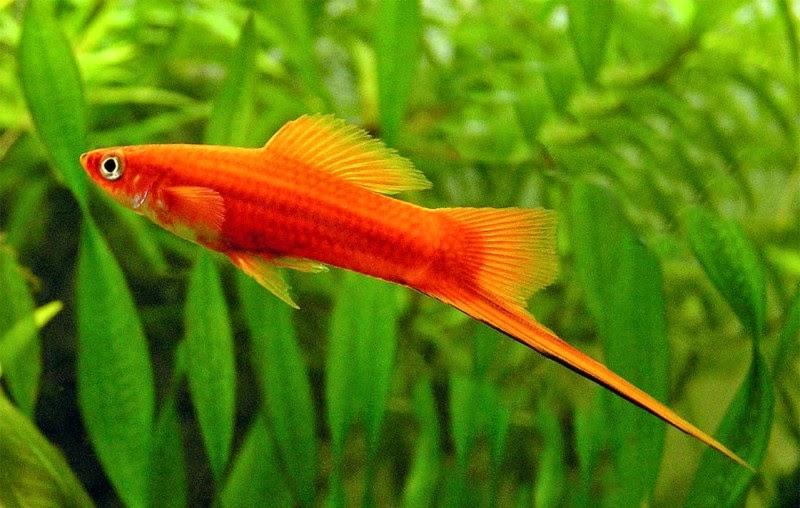 10 loại cá cảnh cực dễ nuôi, vừa đẹp lại còn thu hút tài lộc cho gia chủ - Ảnh 7.