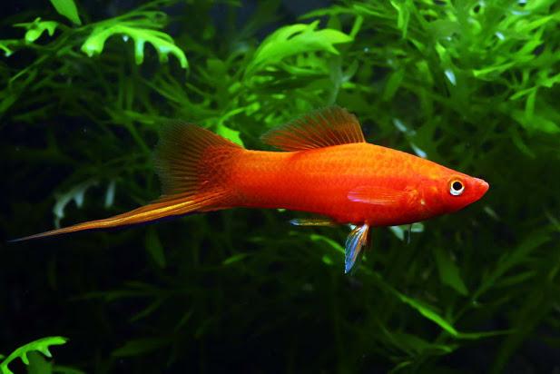 10 loại cá cảnh cực dễ nuôi, vừa đẹp lại còn thu hút tài lộc cho gia chủ - Ảnh 8.