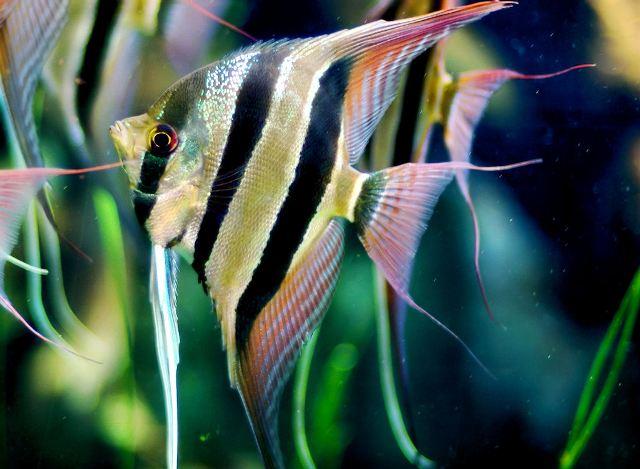 10 loại cá cảnh cực dễ nuôi, vừa đẹp lại còn thu hút tài lộc cho gia chủ - Ảnh 10.