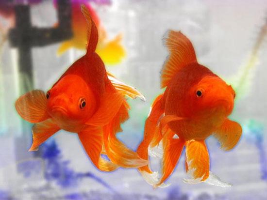 10 loại cá cảnh cực dễ nuôi, vừa đẹp lại còn thu hút tài lộc cho gia chủ - Ảnh 4.