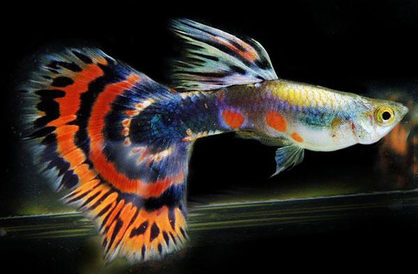 10 loại cá cảnh cực dễ nuôi, vừa đẹp lại còn thu hút tài lộc cho gia chủ - Ảnh 1.