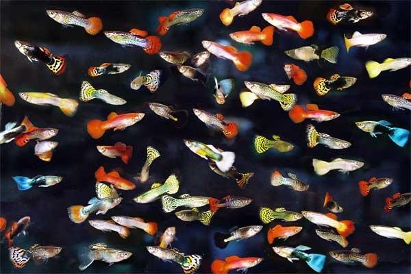 10 loại cá cảnh cực dễ nuôi, vừa đẹp lại còn thu hút tài lộc cho gia chủ - Ảnh 2.