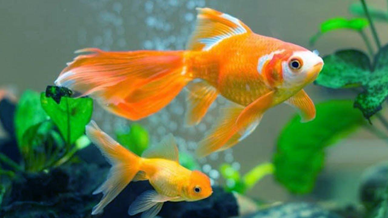 10 loại cá cảnh cực dễ nuôi, vừa đẹp lại còn thu hút tài lộc cho gia chủ - Ảnh 5.