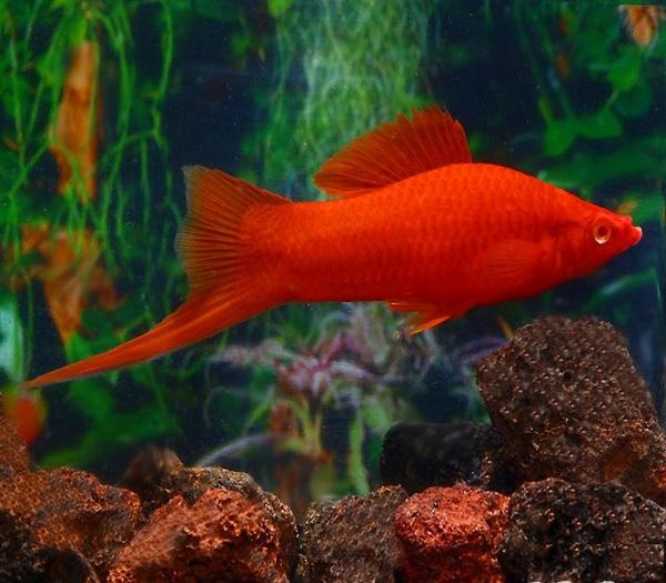 10 loại cá cảnh cực dễ nuôi, vừa đẹp lại còn thu hút tài lộc cho gia chủ - Ảnh 9.