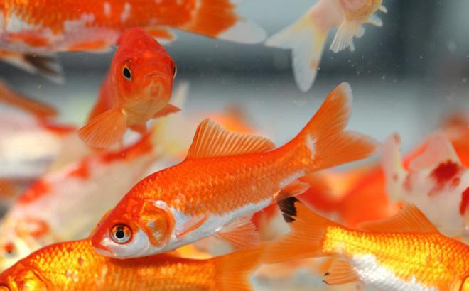 10 loại cá cảnh cực dễ nuôi, vừa đẹp lại còn thu hút tài lộc cho gia chủ - Ảnh 6.