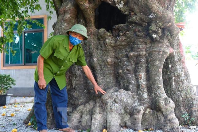 Cây thị lạ ở Hà Tĩnh: Thân cây mục rỗng nhưng gốc vẫn tươi tốt lạ thường, cho cả tạ quả - Ảnh 6.