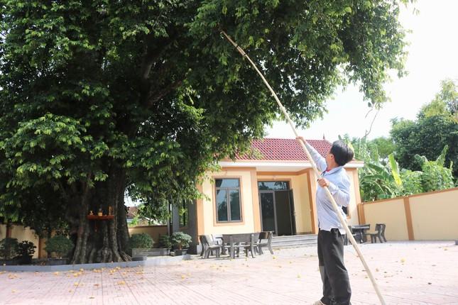 Cây thị lạ ở Hà Tĩnh: Thân cây mục rỗng nhưng gốc vẫn tươi tốt lạ thường, cho cả tạ quả - Ảnh 14.