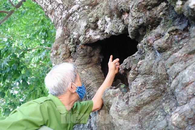 Cây thị lạ ở Hà Tĩnh: Thân cây mục rỗng nhưng gốc vẫn tươi tốt lạ thường, cho cả tạ quả - Ảnh 8.