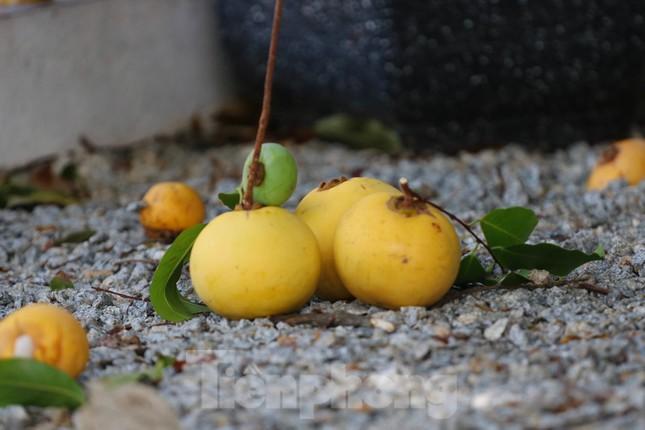 Cây thị lạ ở Hà Tĩnh: Thân cây mục rỗng nhưng gốc vẫn tươi tốt lạ thường, cho cả tạ quả - Ảnh 18.