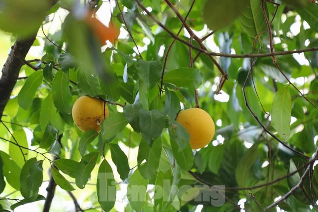 Cây thị lạ ở Hà Tĩnh: Thân cây mục rỗng nhưng gốc vẫn tươi tốt lạ thường, cho cả tạ quả - Ảnh 4.