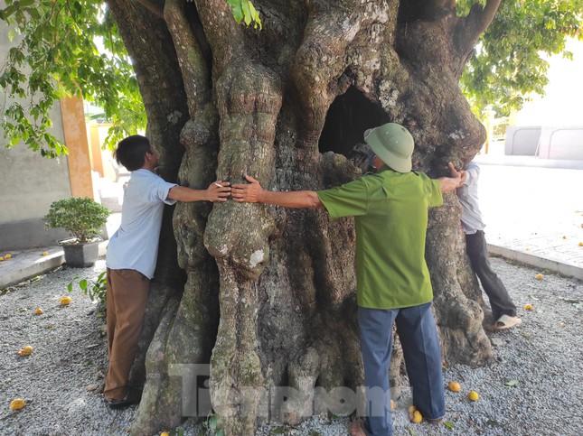 Cây thị lạ ở Hà Tĩnh: Thân cây mục rỗng nhưng gốc vẫn tươi tốt lạ thường, cho cả tạ quả - Ảnh 22.