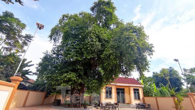 Cây thị lạ ở Hà Tĩnh: Thân cây mục rỗng nhưng gốc vẫn tươi tốt lạ thường, cho cả tạ quả - Ảnh 2.