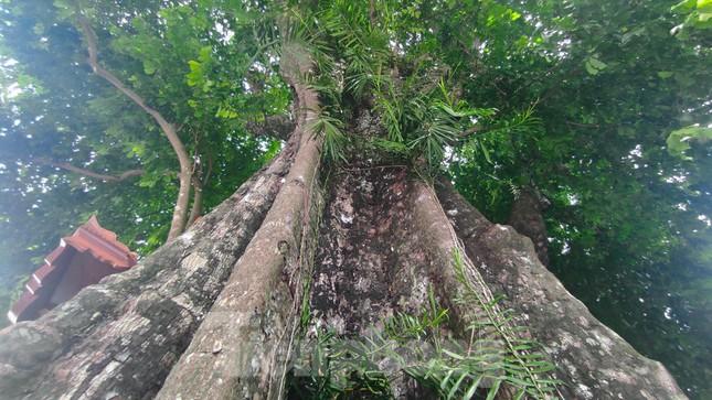 Cây thị lạ ở Hà Tĩnh: Thân cây mục rỗng nhưng gốc vẫn tươi tốt lạ thường, cho cả tạ quả - Ảnh 12.