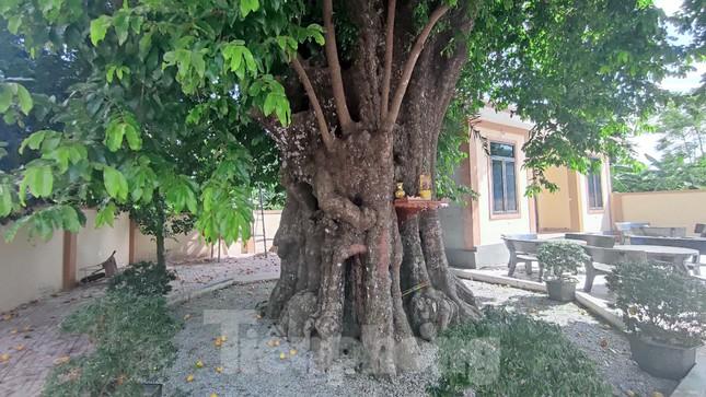 Cây thị lạ ở Hà Tĩnh: Thân cây mục rỗng nhưng gốc vẫn tươi tốt lạ thường, cho cả tạ quả - Ảnh 10.