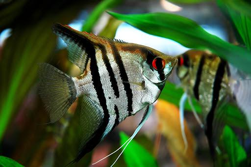 10 loại cá cảnh cực dễ nuôi, vừa đẹp lại còn thu hút tài lộc cho gia chủ - Ảnh 12.