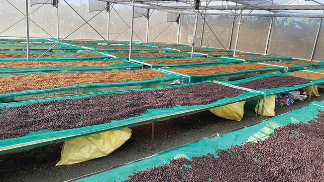 """""""Dị nhân cà phê"""" Đăk Lăk chỉ làm cà phê chất lượng cao và cà phê đặc sản - Ảnh 2."""