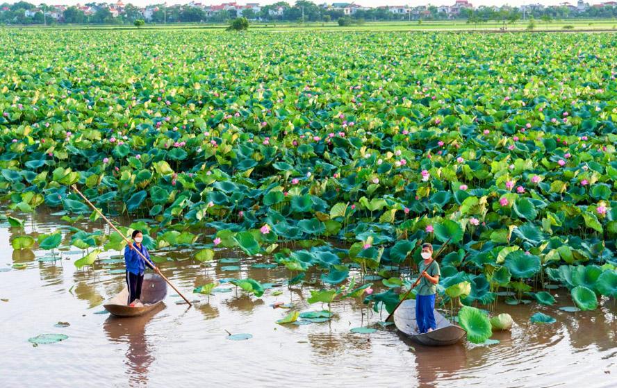 Chán lúa, cá, vịt,... nông dân Phú Xuyên trồng loài hoa gì mà vừa đẹp lại vừa cho hiệu quả kinh tế cao?
