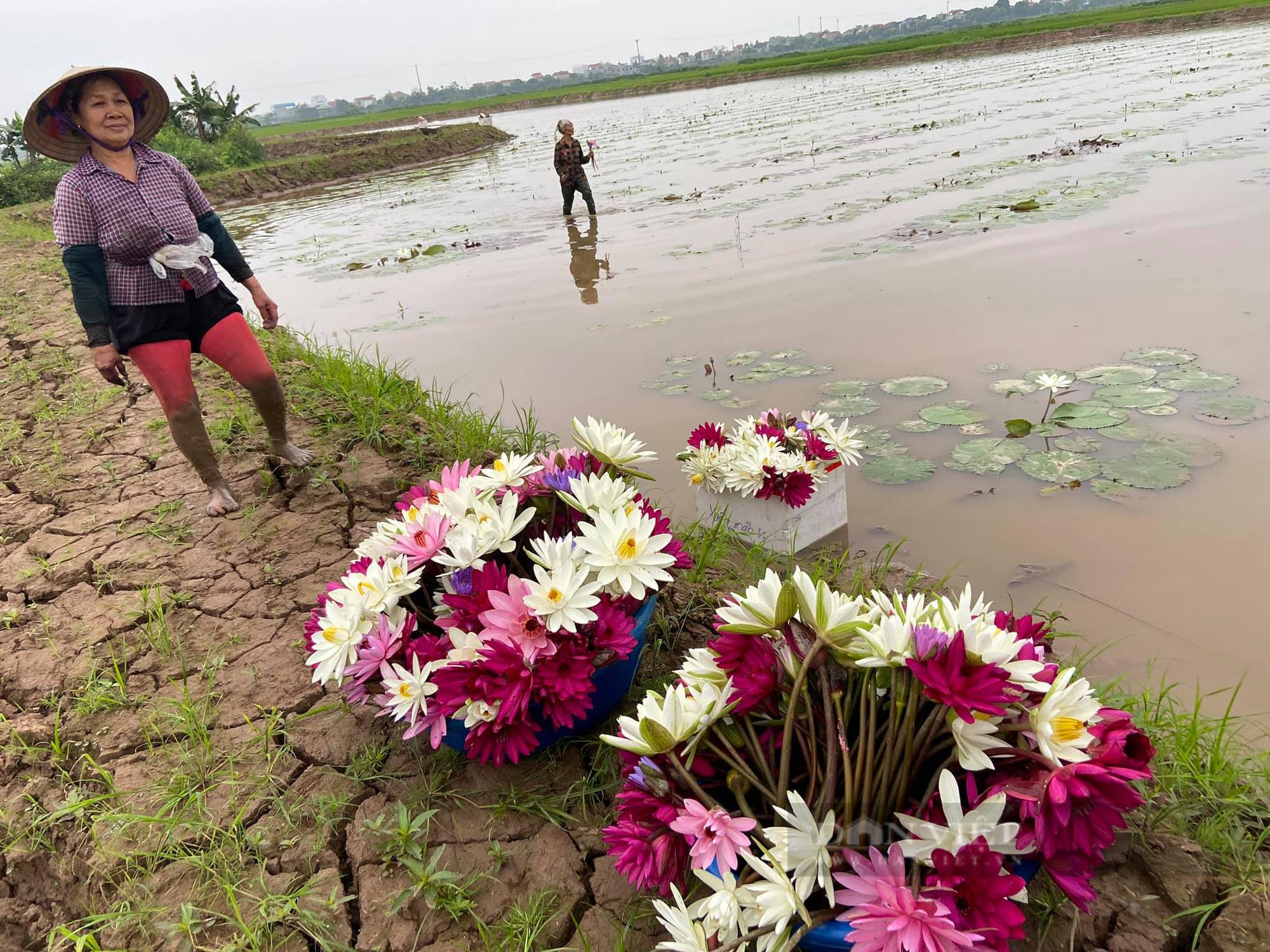 Hà Nam: Trồng hoa súng, hoa sen cảnh - Ảnh 3.