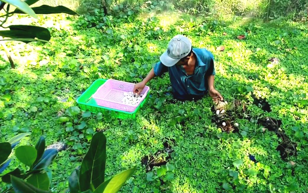 Tiền Giang: Nuôi loài đặc sản nhặt trứng bán, anh nông dân thu tiền triệu mỗi ngày