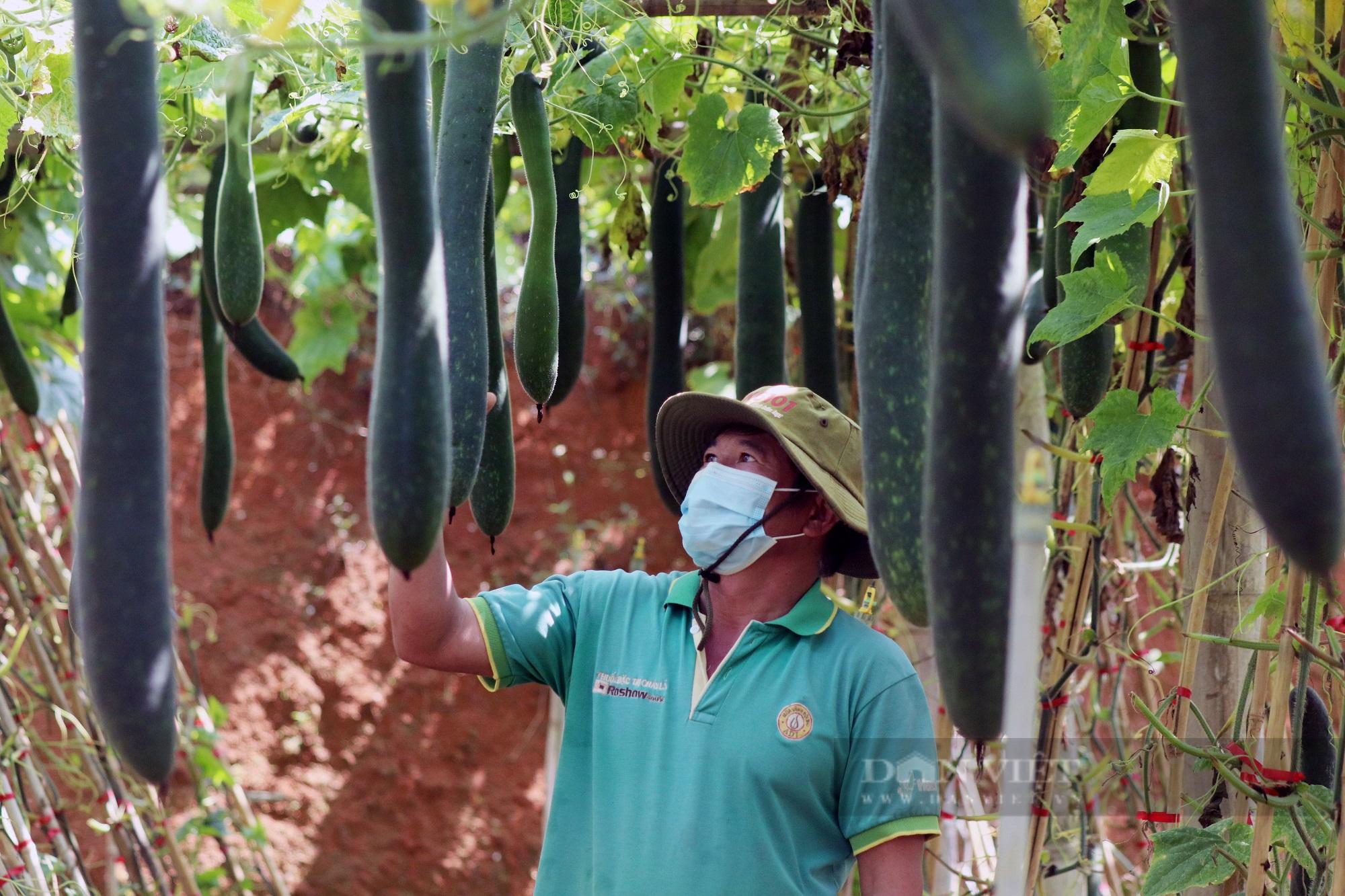 """Trồng bí xanh trái vụ, nông dân Sơn La """"bỏ túi"""" trên 100 triệu trong 3 tháng - Ảnh 1."""