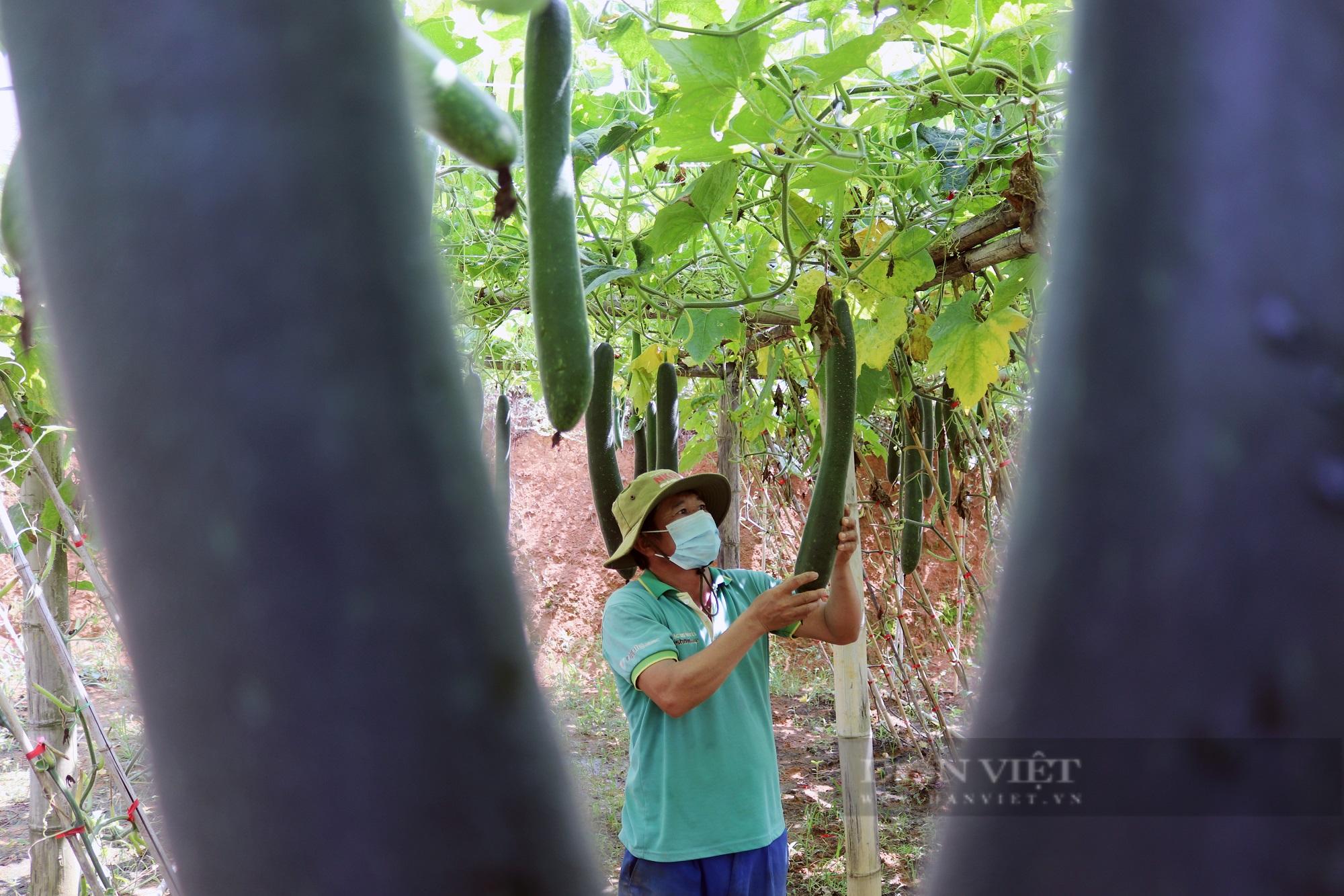 """Trồng bí xanh trái vụ, nông dân Sơn La """"bỏ túi"""" trên 100 triệu trong 3 tháng - Ảnh 2."""