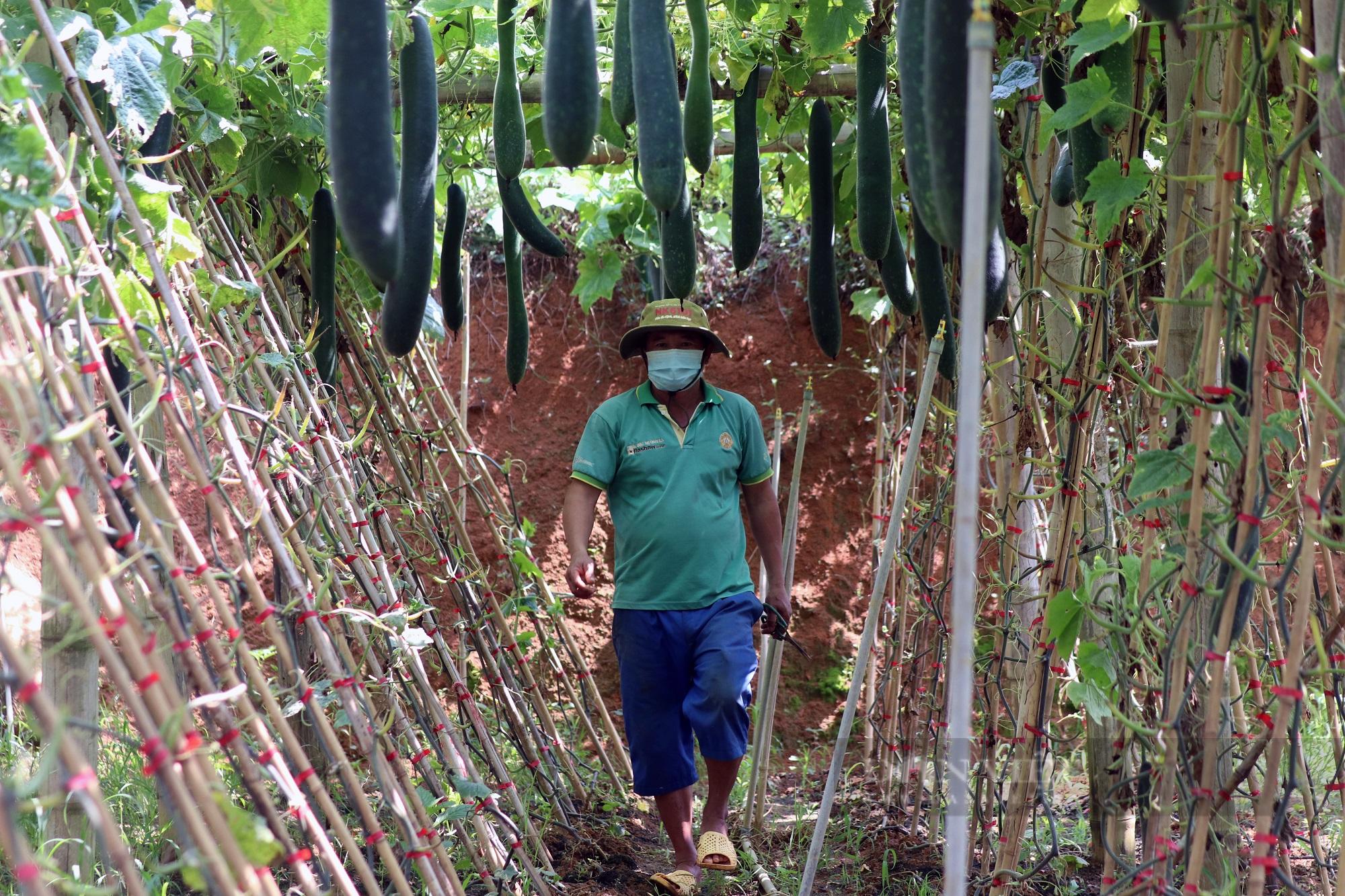 """Trồng bí xanh trái vụ, nông dân Sơn La """"bỏ túi"""" trên 100 triệu trong 3 tháng - Ảnh 3."""