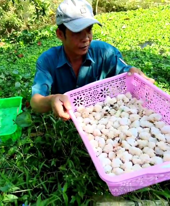 Tiền Giang: Độc đáo nuôi loài đặc sản sống hoang dã lấy trứng bán, anh nông dân thu tiền triệu mỗi ngày - Ảnh 5.