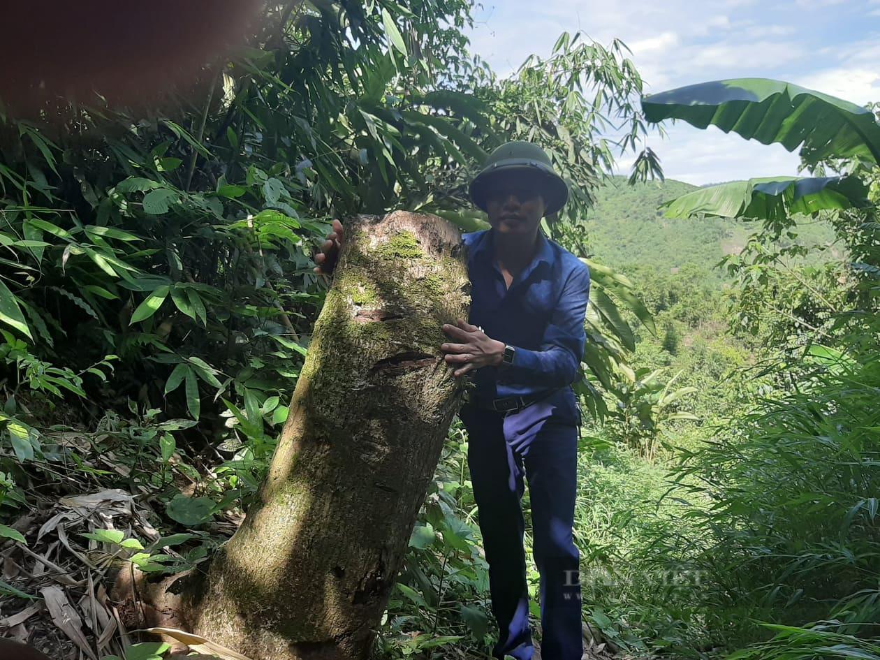 """Phú Thọ: Tái diễn nạn phá rừng trong mùa dịch Covid, kiểm lâm """"căng mình"""" xử lý - Ảnh 4."""
