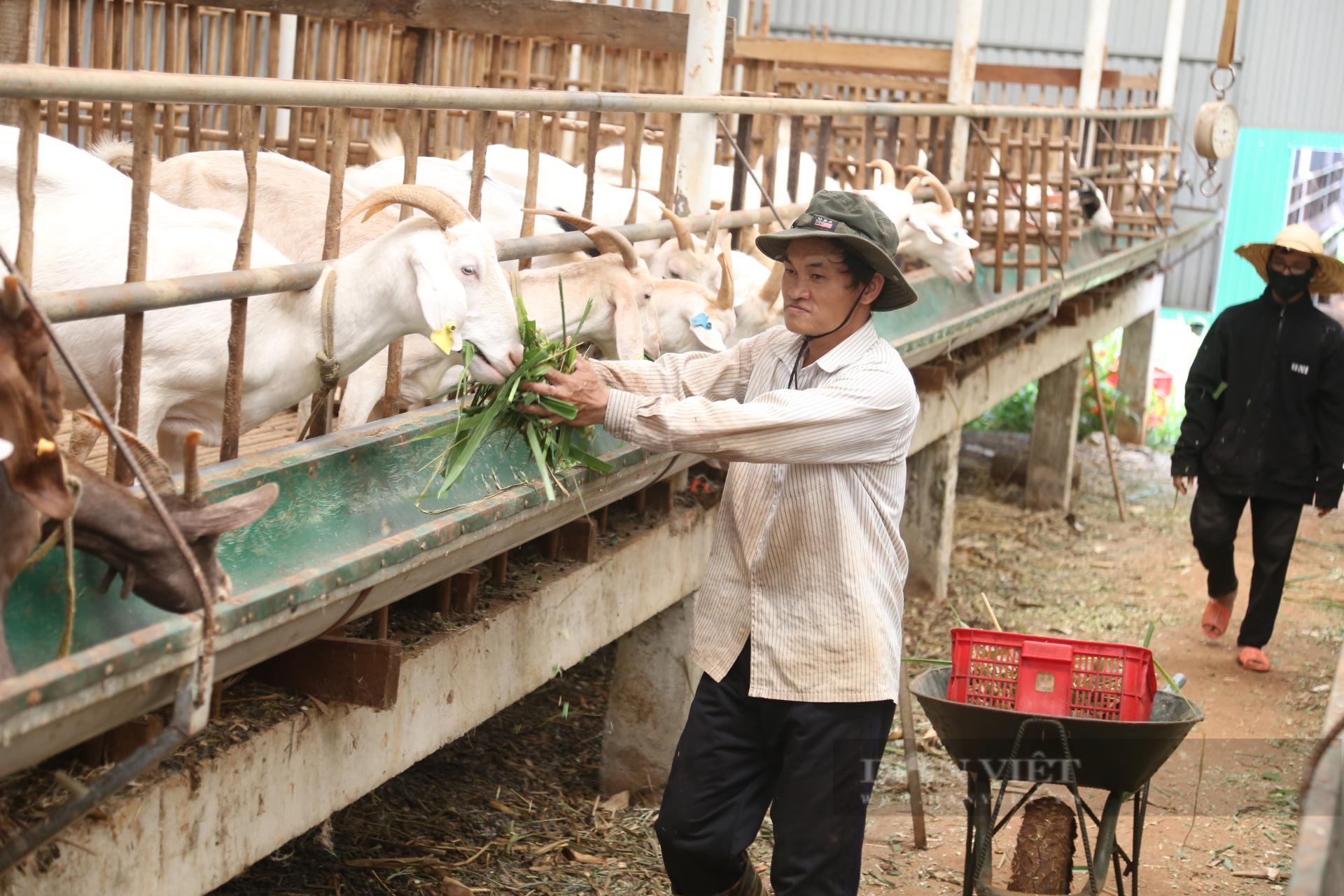 Đắk Lắk: Bỏ phố về quê nuôi con tai dài lấy sữa, thu gần 1 tỷ đồng/năm - Ảnh 6.