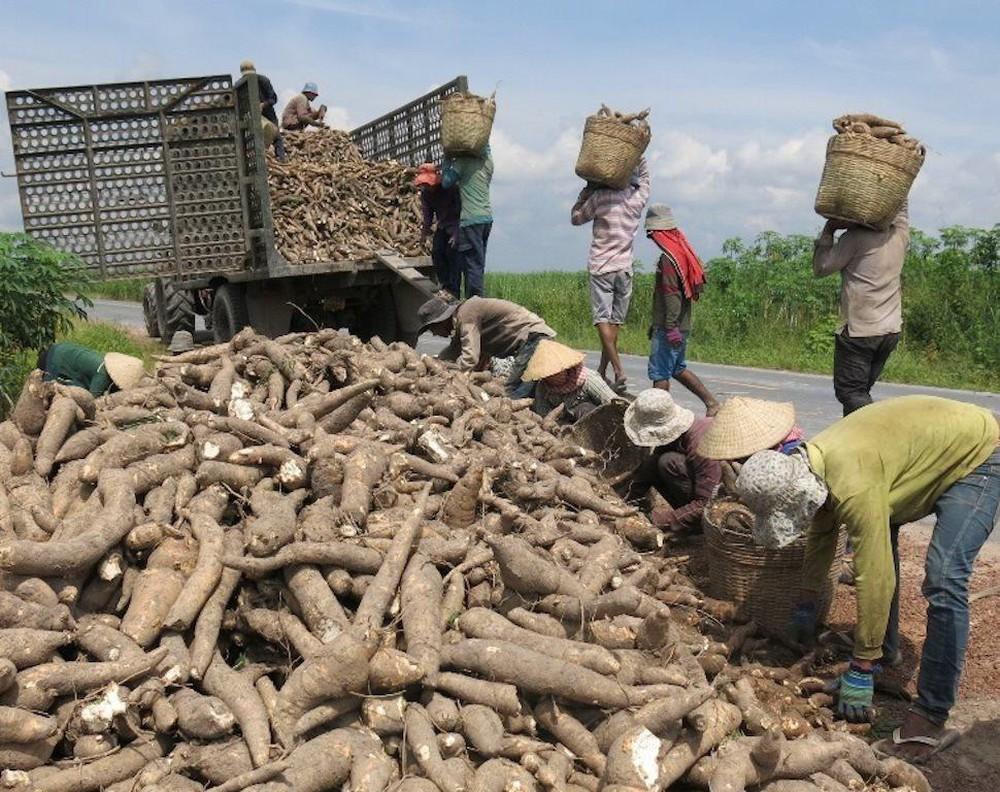 Tại sao Trung Quốc giảm mua loại nông sản này của Việt Nam, tăng mua của Thái Lan dù giá cao? - Ảnh 2.