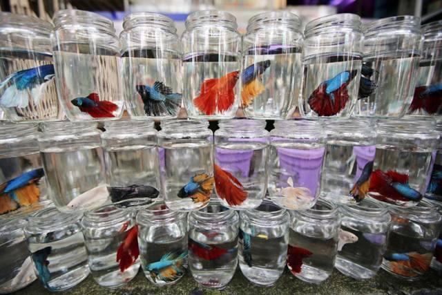 10 loại cá cảnh cực dễ nuôi, vừa đẹp lại còn thu hút tài lộc cho gia chủ - Ảnh 24.