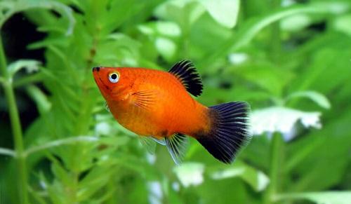 10 loại cá cảnh cực dễ nuôi, vừa đẹp lại còn thu hút tài lộc cho gia chủ - Ảnh 21.