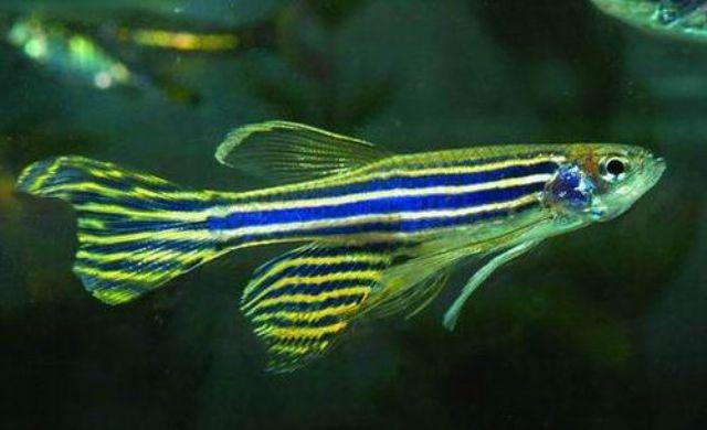 10 loại cá cảnh cực dễ nuôi, vừa đẹp lại còn thu hút tài lộc cho gia chủ - Ảnh 18.
