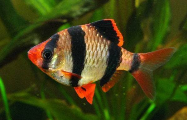 10 loại cá cảnh cực dễ nuôi, vừa đẹp lại còn thu hút tài lộc cho gia chủ - Ảnh 25.
