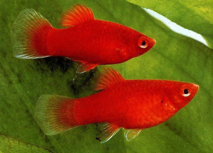 10 loại cá cảnh cực dễ nuôi, vừa đẹp lại còn thu hút tài lộc cho gia chủ - Ảnh 20.