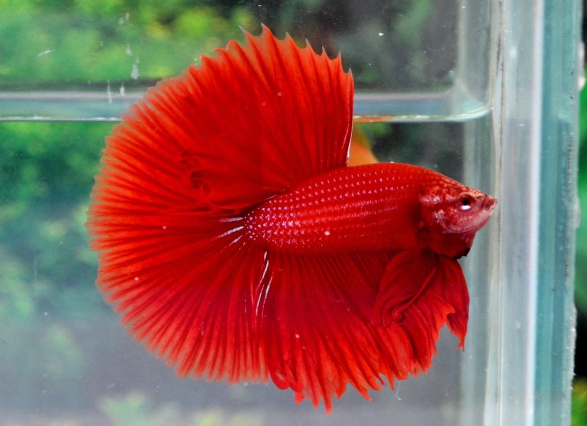 10 loại cá cảnh cực dễ nuôi, vừa đẹp lại còn thu hút tài lộc cho gia chủ - Ảnh 23.