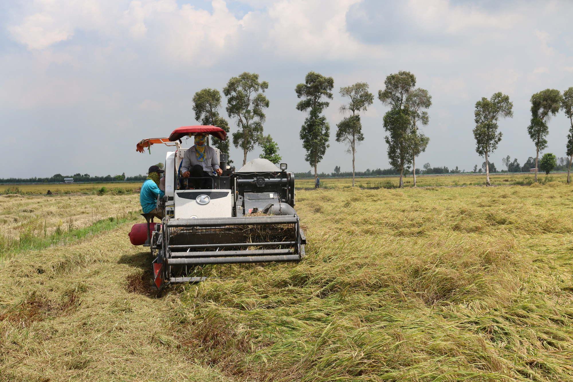 Agribank: Kịp thời cung ứng vốn phục vụ thu mua lúa gạo tại Đồng bằng sông Cửu Long - Ảnh 1.