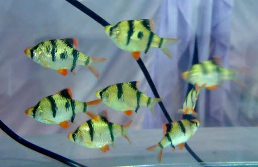 10 loại cá cảnh cực dễ nuôi, vừa đẹp lại còn thu hút tài lộc cho gia chủ - Ảnh 26.