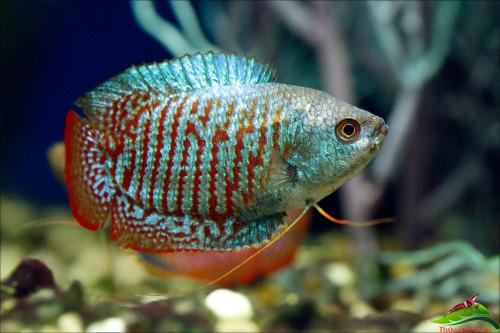 10 loại cá cảnh cực dễ nuôi, vừa đẹp lại còn thu hút tài lộc cho gia chủ - Ảnh 28.