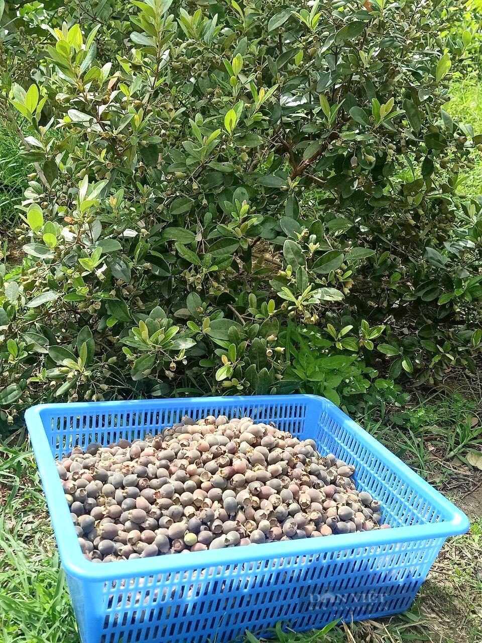 """Bình Định: Một huyện có hơn 500 héc ta rừng tự nhiên ra quả """"tím lịm"""", giúp dân hái ra tiền  - Ảnh 3."""