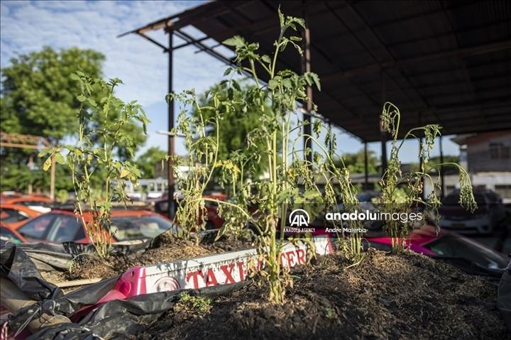Thái Lan: Ế ẩm vì COVID-19, hàng trăm taxi biến thành nơi trồng rau - Ảnh 4.