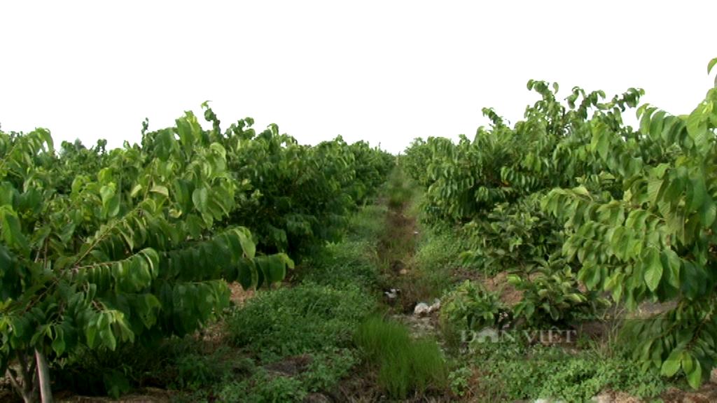 """Long An: Dịch Covid-19 nguy cơ phá tan kế hoạch """"cả xóm làm giàu"""" của lão nông trồng trái đặc sản, to khủng - Ảnh 1."""